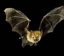 """Refutações ao """"Contradições da Bíblia"""" – Morcegos também são aves?"""