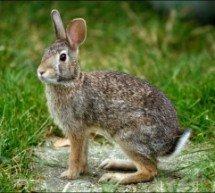 """Refutações ao """"Contradições da Bíblia"""" – Lebres e coelhos ruminam?"""